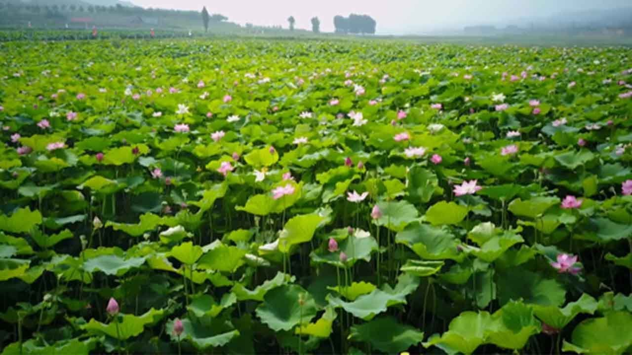 A Sea Of Lotus Flowers Boost N Chinas Shanxi Economic Conditions