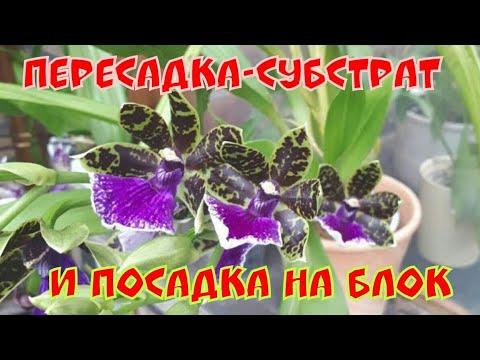 Орхидея ЗИГОПЕТАЛУМ - ароматный любимчик и легкий в уходе.