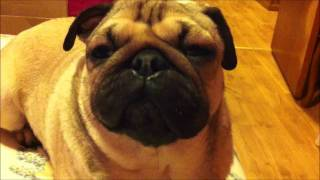 Sophie The Pug Has A Bad Allergy Attack!