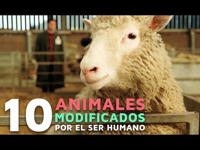 10 Animales modificados por los humanos 🐑