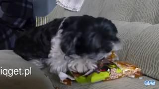 Psy odpakowują swoje prezenty