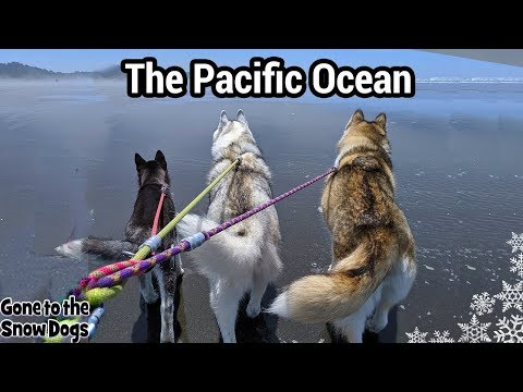 huskies-first-time-at-the-ocean