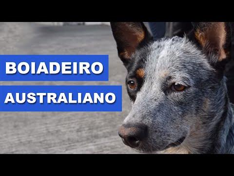 Boiadeiro Australiano (Australian Cattle Dog) - Quatro Patas com o canal Traducão!