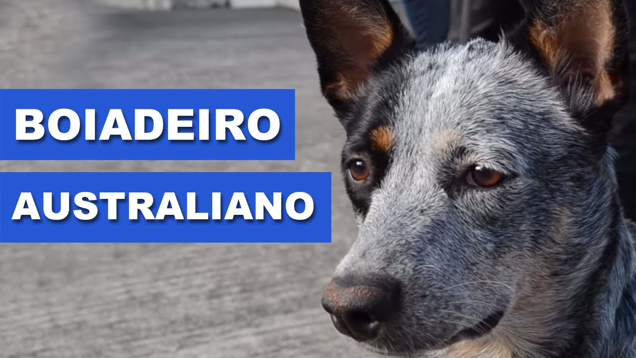 Preferência Boiadeiro Australiano (Australian Cattle Dog) - Quatro Patas com o  LS41