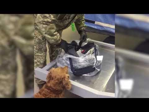 Державна прикордонна служба України: В аеропорту «Миколаїв» службовий пес прикордонників допоміг виявити пістолет