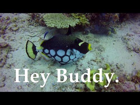 Clown Trigger, Moray Eels, Coral, Sweet Lips, And Walking Mabul Island