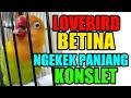 Suara Lovebird Betina Ngekek Panjang Konslet  Mp3 - Mp4 Download