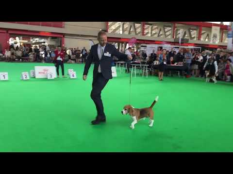 Starbuck Torbay Scandal at Woodland West - Best champions at the World Dog Show 2018