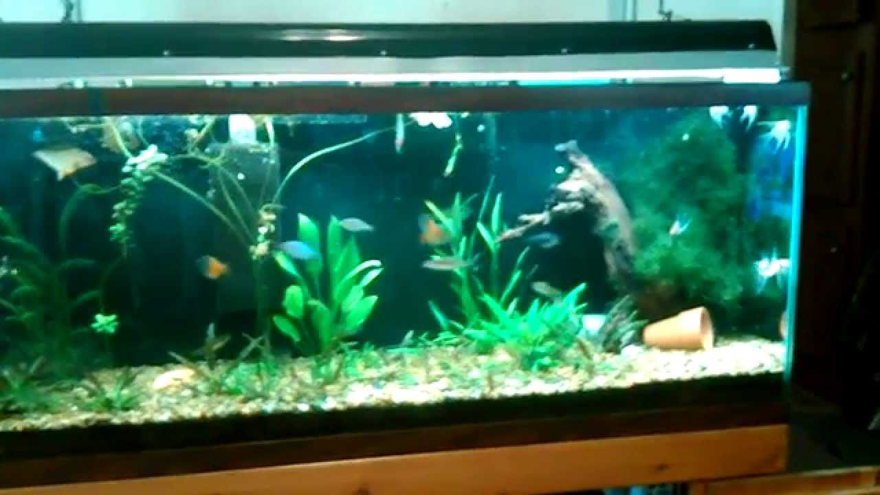 My 55 gal diy planted dirt tank with new koi angelfish for 10 gallon koi tank