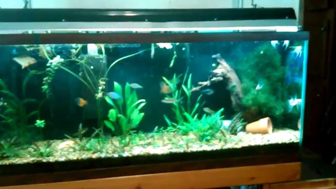 My 55 gal diy planted dirt tank with new koi angelfish for Koi fish tank setup