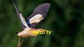 35 Little Bittern Wading Birds Heron Family! Top 35 Little Bittern European And Western Asian Birds