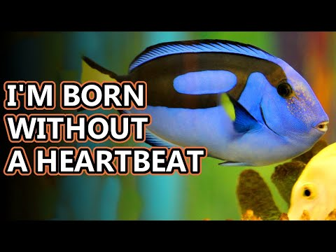 Blue Tang Facts: The Dory Fish | Animal Fact Files