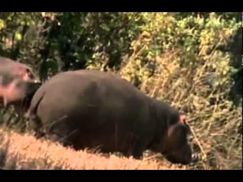 Documentários dos animais da Africa   Duelo animal