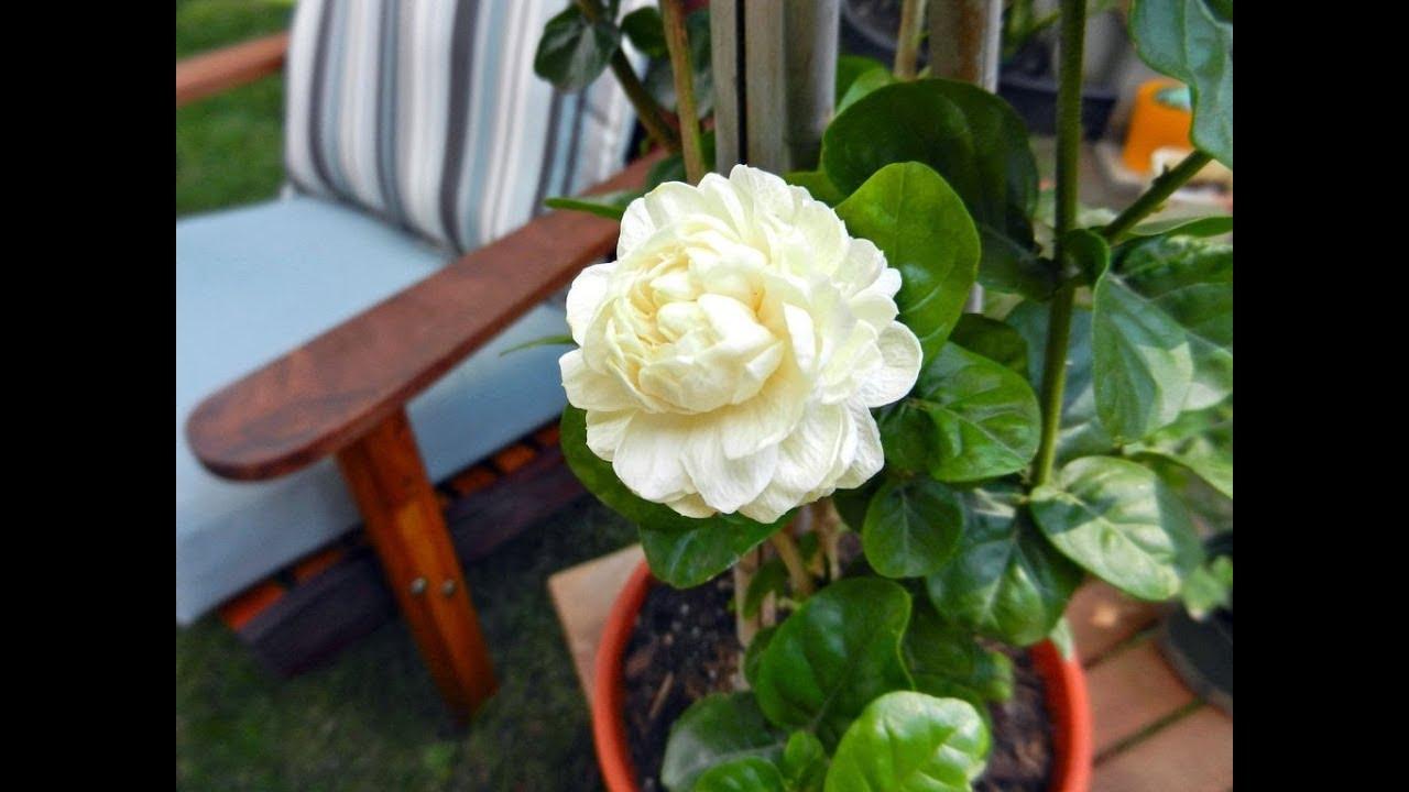 Awesome And Pretty Arabian Jasmine Flowers Youtube