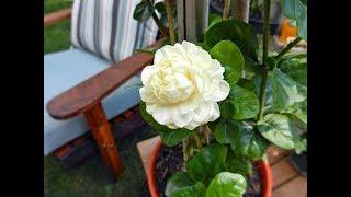 Awesome and Pretty Arabian Jasmine Flowers