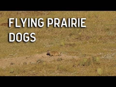 Flying Prairie Dogs | AR-15 Varmint Hunt