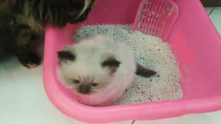 اسهل طريقه لتعليم القطط الصغيره على الحمام او الليتر بوكس
