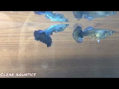 Breeding Pair Of Blue Dragon Guppy - Show Quality - Poecillia Reticulata Gary's Fish Rooms