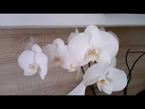 Белая орхидея с 4-мя цветоносами Как так получилось?