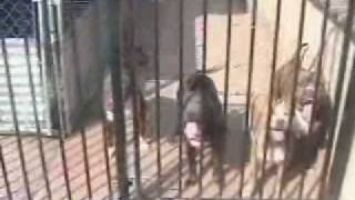 Pitbull Breeders, Find Blue Nose Pitbull Puppies California(
