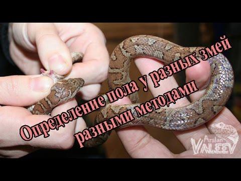 Как определить пол у змей