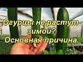 Огурцы зимой -почему не вяжутся плоды (зеленцы)