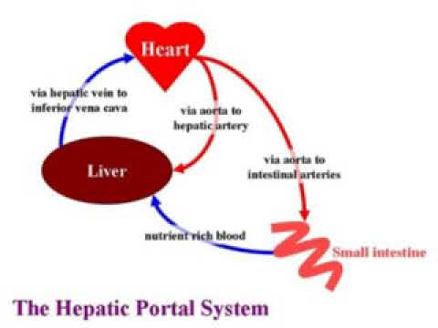 What is hepatic portal system youtube for Hepatic portal v