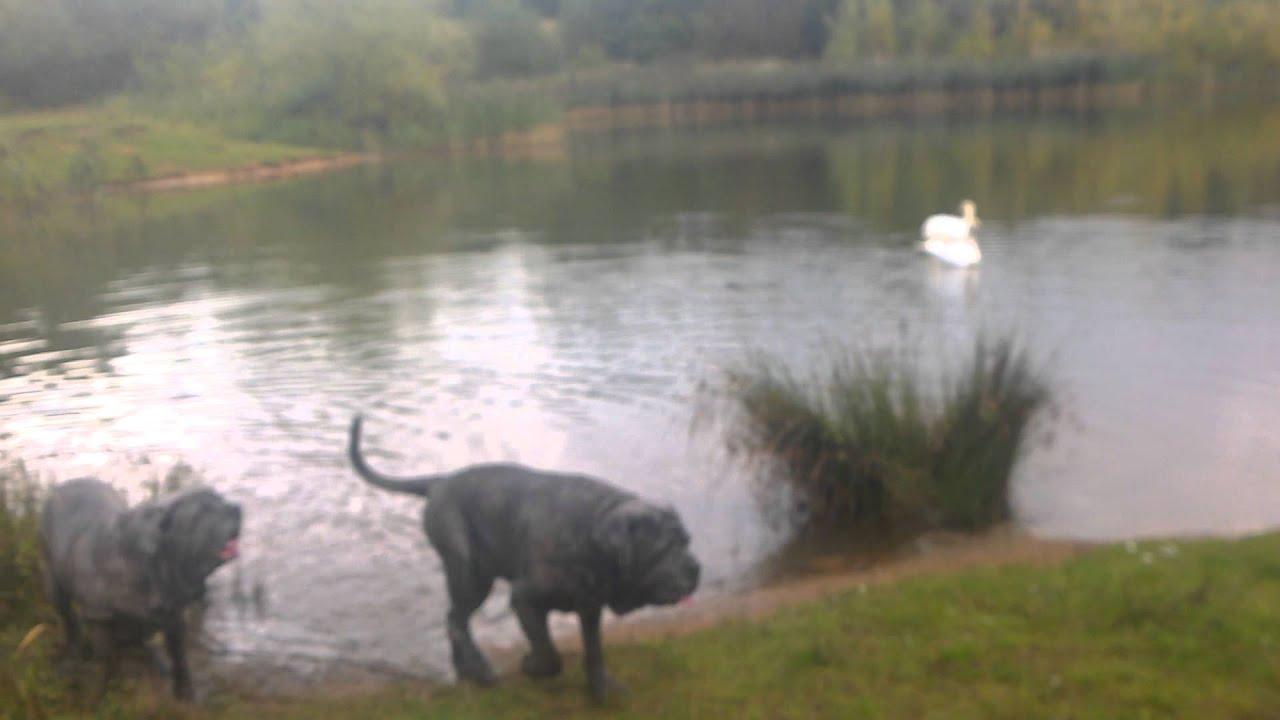 neapolitan mastiff being naughty and swimming
