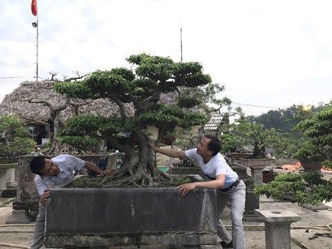 LIVE- STREAM-Từ một cọng rễ biến thành cây bonsai ôm đá