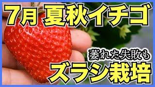 夏秋イチゴ栽培7月の生育!収穫量を安定化させるズラシ栽培といちごが萎れた原因【戦略を元に栽培方法を決めよう】