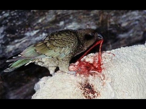Parrot Kea – killer sheep / Parrots brutally killing sheep – most intelligent & cruel parrot