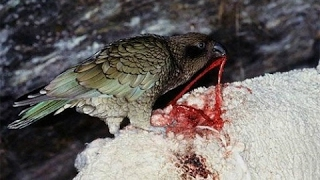 parrot-kea-killer-sheep-parrots-brutally-killing-sheep-most-intelligent-amp-cruel-parrot
