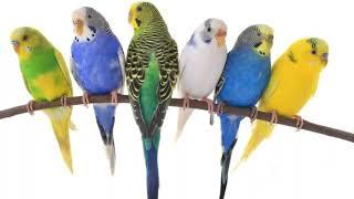 Часть: 2 Болезни волнистых попугаев и как с ними бороться // какие болезни опасны для человека?