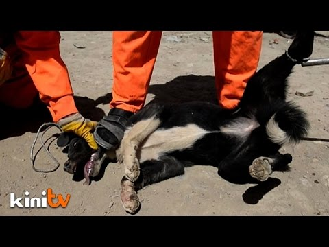 Trapped, then poisoned: Kabul's ruthless dog cull