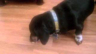 Random Adventures With Toby The Dachshund Episode 2
