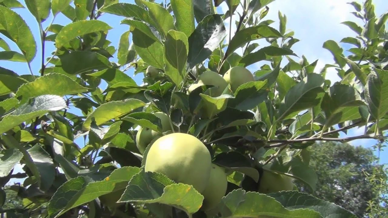 Golden Delicious Apple Tree - YouTube