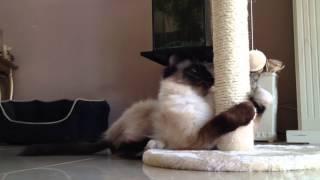 Onze kat Panda met z'n nieuwe krap paal.