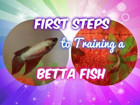 How To Start Training Your Betta Fish