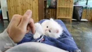 새하얀 페르시안고양이 친칠라 영상보고 이쁜지 분양받고 …