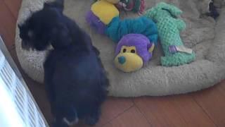 Cozzy 8 Weeks Old, Black & Silver Miniature Schnauzer