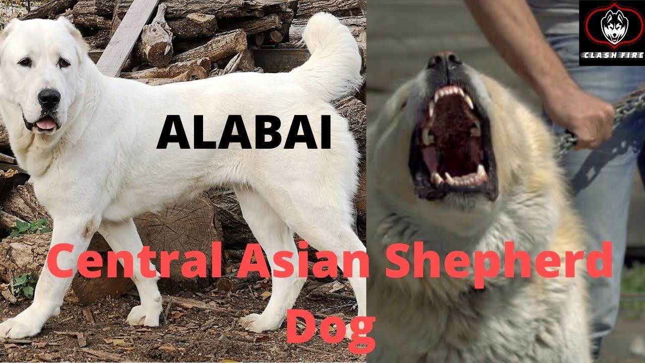 Alabai Central Asian Shepherd Best Guard Dog Price List