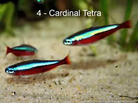 Top Ten Aquarium Tropical Freshwater Fish