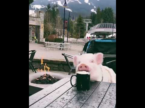 Pig Drinking Hot Chocolate By Ski Slopes