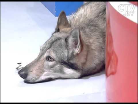 Ольга Беринцева, владелица собаки породы чешский влчак в программе «УТРО»