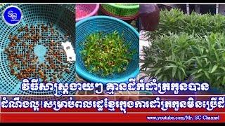 វិធីសាស្រ្តដាំត្រកួនបែបងាយៗ ដោយមិនចាំបាច់ប្រើដី,Khmer Hot News, Mr. SC Channel,
