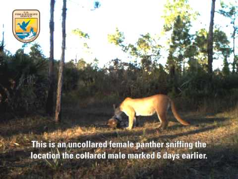 Endangered Florida Panthers in the Wild: Video 2/4 - YouTube