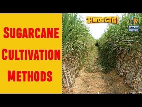 Sugarcane Cultivation Methods   Sugarcane Farming in India   ETV UP Uttarakhand