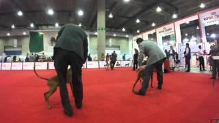 Expocan 2015 Setter/vizsla/weimaraner Breed Judgement