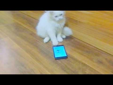 Playing persian cat