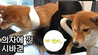 의자를 지키려다 의자에 낀 강아지(feat. 시바견 액체설)/shibainu/곰탱이/Gomu0026Taeng